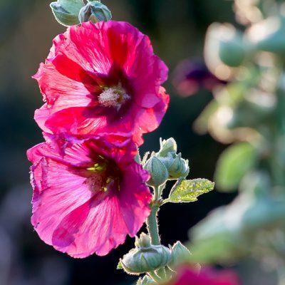 Stockrose, Alcea rosea-Pflanzen-Plants